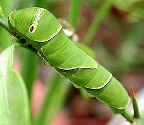 揚羽蝶の幼虫はミカンの香り[?]
